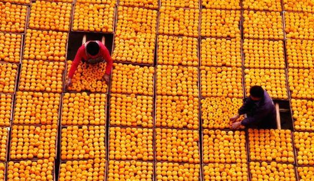 红红火火丰收景 广西月柿之乡遍地金黄